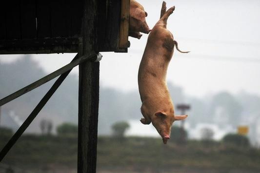 Фермер вКитайской республике выращивает спортивных свиней