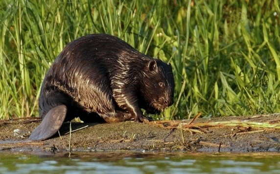 More than 500 homes in Sweden were without electricity due to beaver that built a dam 20_main