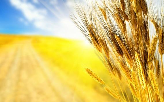 Україна займає шосте місце у світі за експортом пшениці