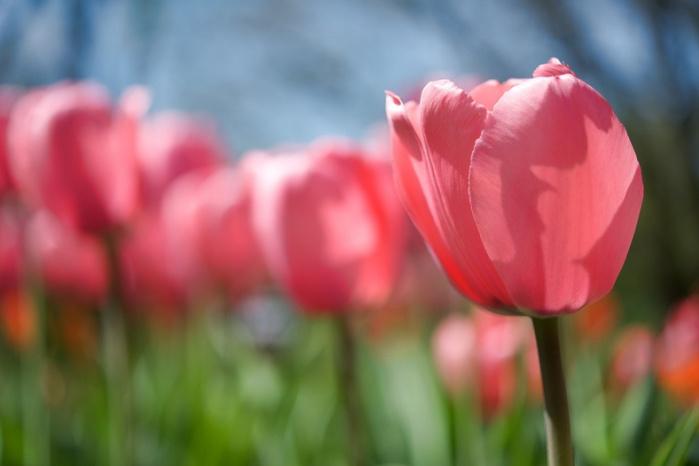 Цвітіння тюльпанів