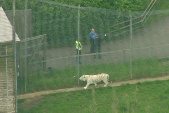 УБританії тигр убив доглядача зоопарку