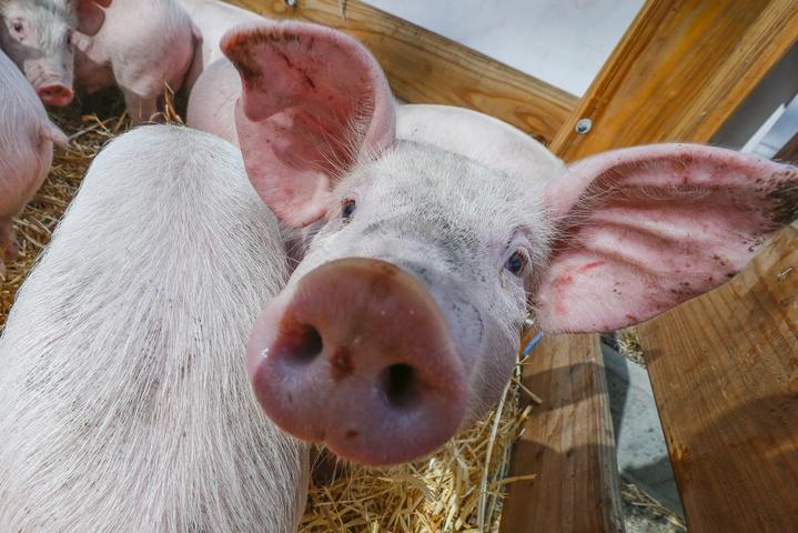 Африканська чума свиней добралася до Рівненщини