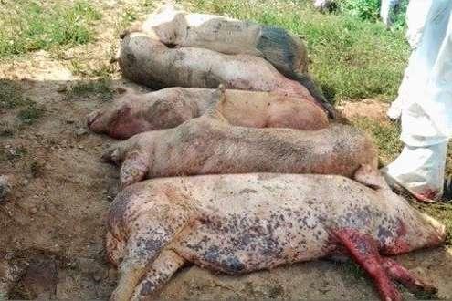 Африканську чуму свиней виявили наКиївщині