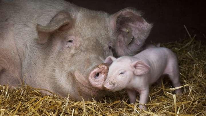 НаХерсонщині підтверджено випадок африканської чуми свиней