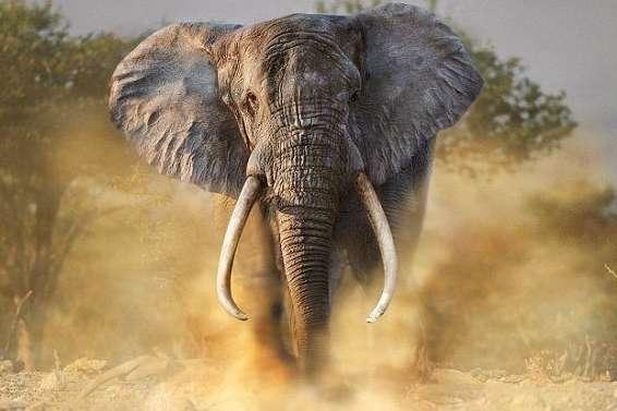 УТаїланді слон убив господаря і сховав тіло