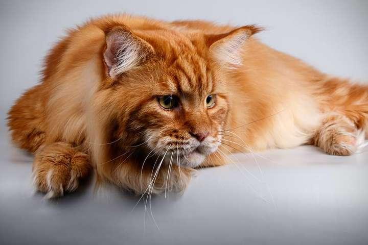 Кот Кекс изДнепра официально признан наибольшим  котом государства Украины