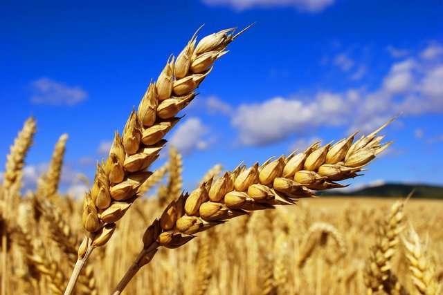 Експорт української пшениці на Близький Схід зріс на 46%