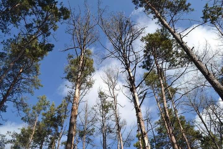 В Україні масово всихають ліси через зміну клімату