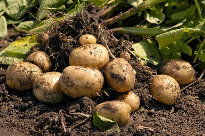 Супрунзакликала остерігатися бактерій, що живуть в землі, зокрема правця — Супрун пояснила, як збирати врожай без шкоди для здоров'я