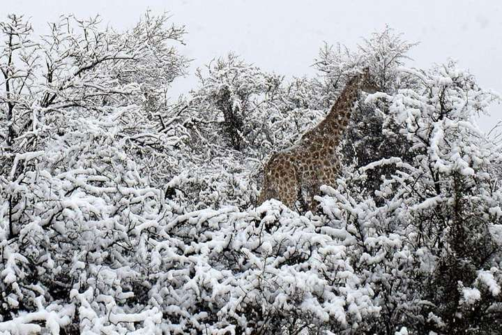 <p>Сніг у Південній Африці, 8 серпня</p> - Південну Африку засипало снігом