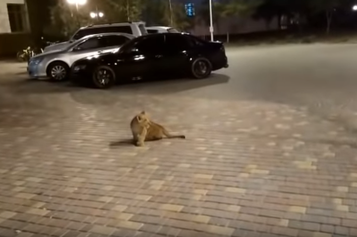В елітному районі Одеси ходить самотнє левеня (відео)