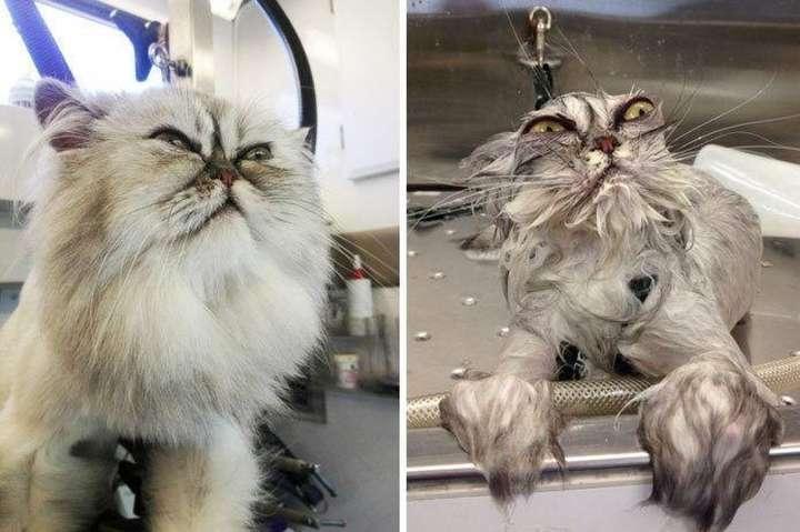 Зря ты это сделал: фото брутальных котов до и после купания