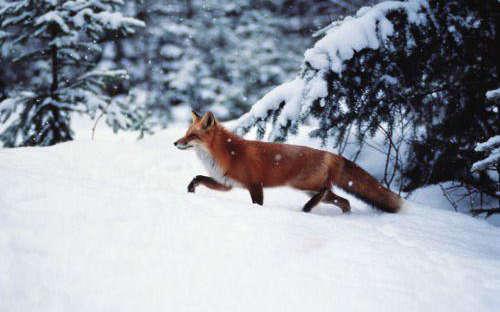 На Одещині здійснюють імунізацію диких тварин проти сказу