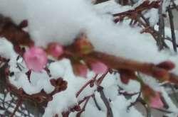 Фото: — <p>Диво-сакура цвіте по три рази на рік</p>