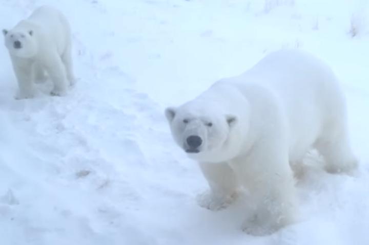 Звичайні заходи безпеки на ведмедів не діють, тому що вони «переконалися в безпеці»