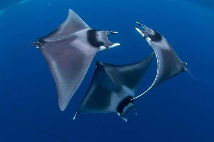 «Танецморскихдьяволов» - Невероятный подводный мир в снимках победителей фотоконкурса Ocean Art