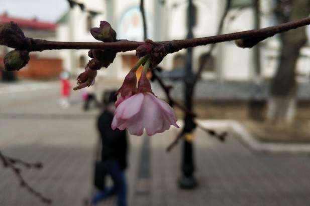 Цветок сакуры - Весна в Украине: В Мукачево зацвела знаменитая сакура