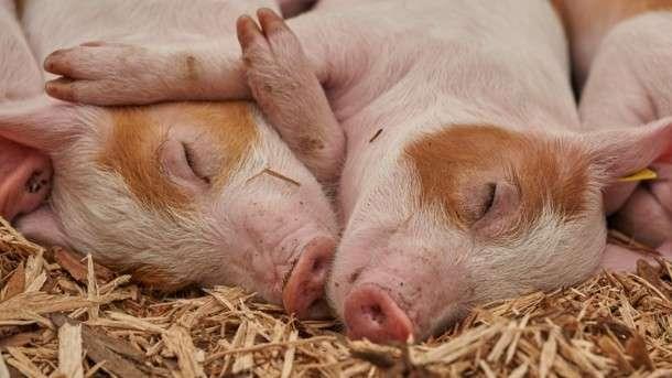 В Україні нарешті зросла кількість свиней — Держстат