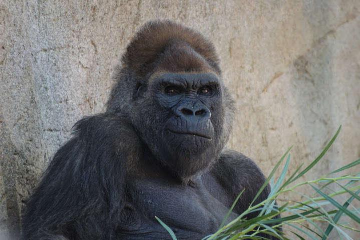 Соцмережу вразило селфі волонтера з горилами, які «стоять як люди»