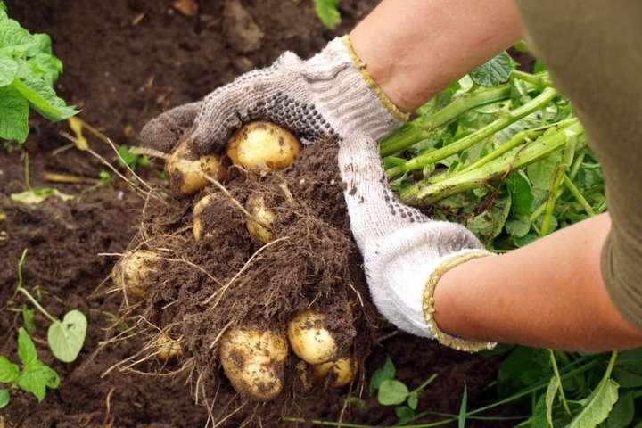 На сьогодні виробники відвантажують картоплю врожаю 2018 року по 11-18 грн/кг залежно від якості, сорту і обсягу партії, що практично на 80% дорожче, ніж в кінці минулого тижня — Ціни на картоплю в Україні сягнули 10-річного максимуму
