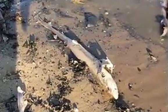 edf66eeef531f7 Фахівці вважають, що в відео показана європейська куницева акула - У  Британії на пляж винесло