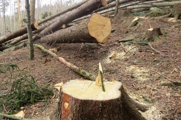 <span>З 1 січня 2019 року в Україні набрав чинності закон, який посилює заходи проти знищення лісів в Україні</span> — На Прикарпатті екологи виявили незаконну рубку лісів на 1,2 млн грн