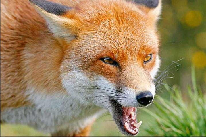 У Миргороді скажена лисиця покусала людей: в місті запровадили каранти