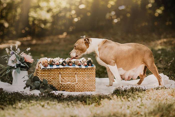 Фото мамы-питбуля со щенятами восхитили пользователей сети ...