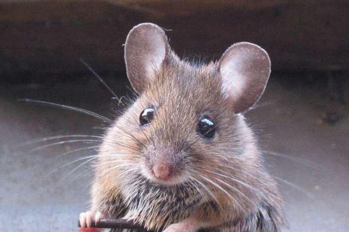 Японським вченим вдалося оживити мертвий мозок миші