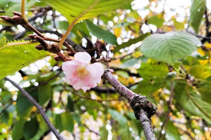 Ця сакура є улюбленицею і у туристів, і у містян — У Мукачевому зацвіла «скажена сакура»