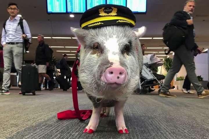 В аэропорту США свинка помогает пассажирам (фото)