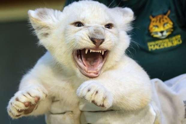В немецком зоопарке показали редких белых львят