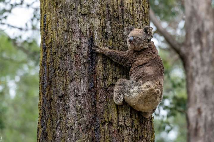 В Австралії за допомогою безпілотників рятують коал, які постраждали від лісових пожеж