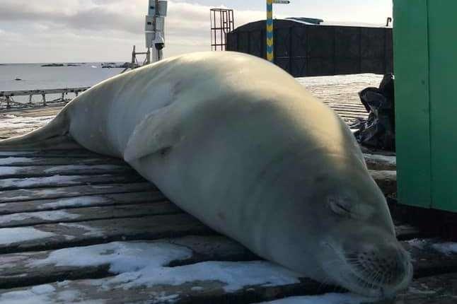 <p>Тюлень-крабоїд завітав на антарктичну станцію &laquo;Академік Вернадський&raquo;</p> <p>Фото: facebook</p> <p> — Антарктичну станцію «Академік Вернадський» відвідав 200-кілограмовий тюлень-крабоїд»></p></div> <div class=