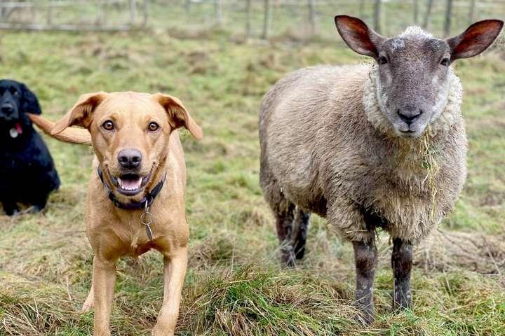 Годовалая овечка Чопси - Лает и кусается: овечка из Великобритании уверена в том, что она пес (фото)