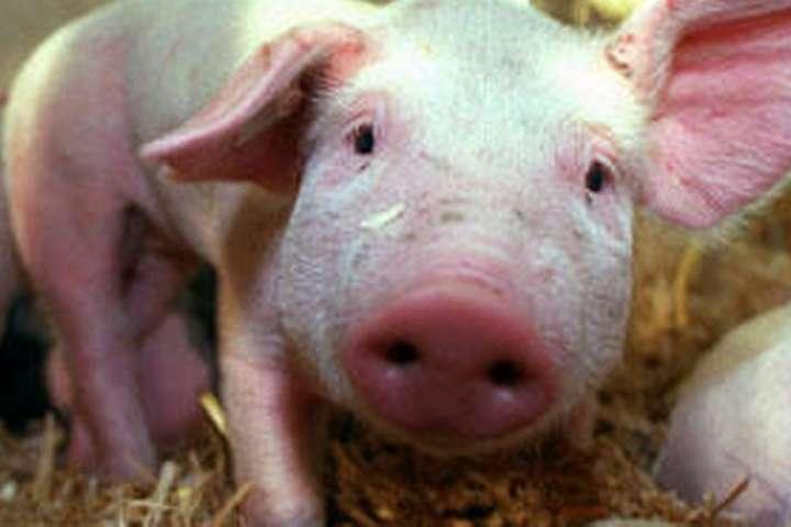 Новий штам виявили на підставі 30 тисяч мазків з носа свиней, які були взяті на бойнях у всій країн — У Китаї виявили потенційно небезпечний для людей свинячий грип