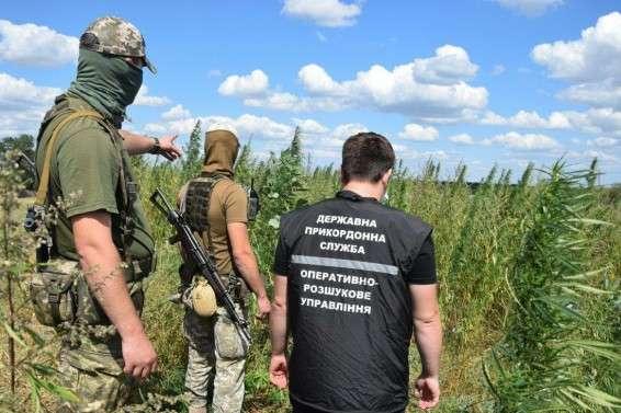 Коноплі були сховані серед полів кукурудзи - Поліція знайшла під Маріуполем плантацію конопель