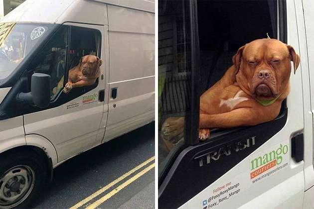 Собака в машине — залог хорошего настроения: подборка курьезных фото