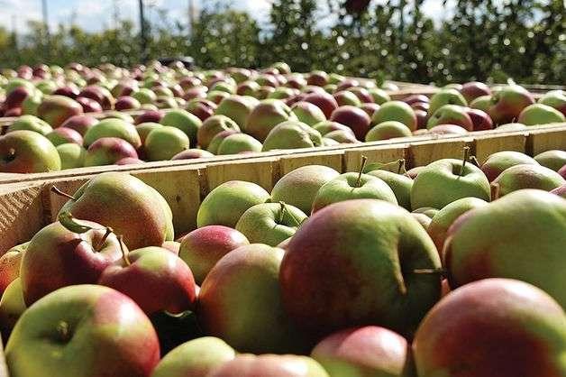 Зараз українські аграрії збирають осінні сорти яблук, які мають невеликий термін зберігання - В Україні подешевшали яблука