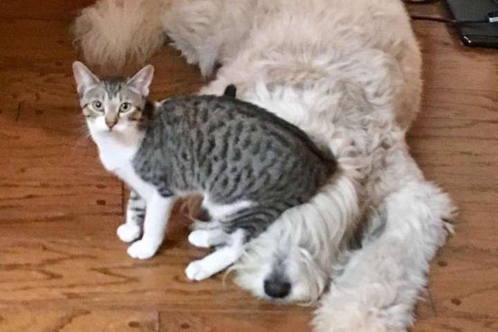 Эти нахальные коты бесцеремонно приструнили собак в доме: курьезные фото
