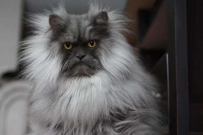 Суровая кошка со смешной прической стала интернет-звездой (фото)