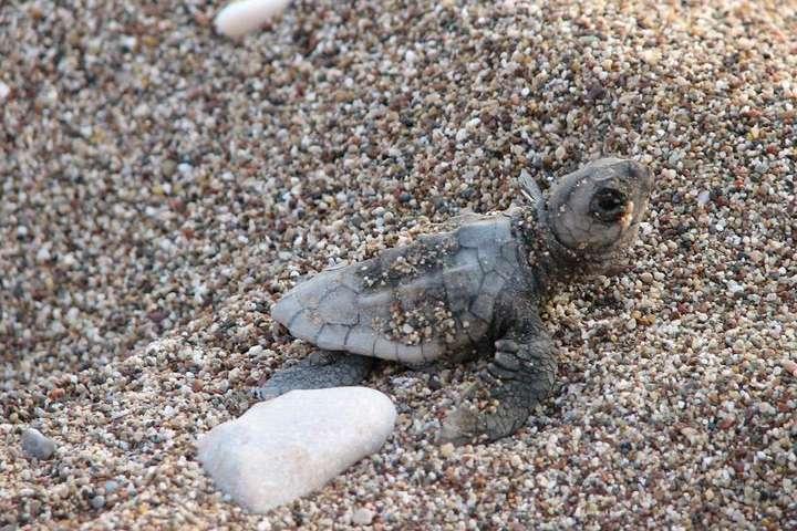 У Мексиці новий рекорд народження морських черепах Рідлі
