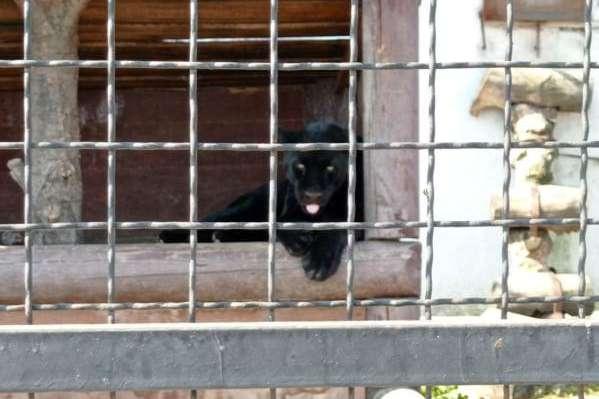 Під Полтавою на чоловіка напала пантера - Напад пантери на чоловіка під Полтавою: поліція відкрила впровадження