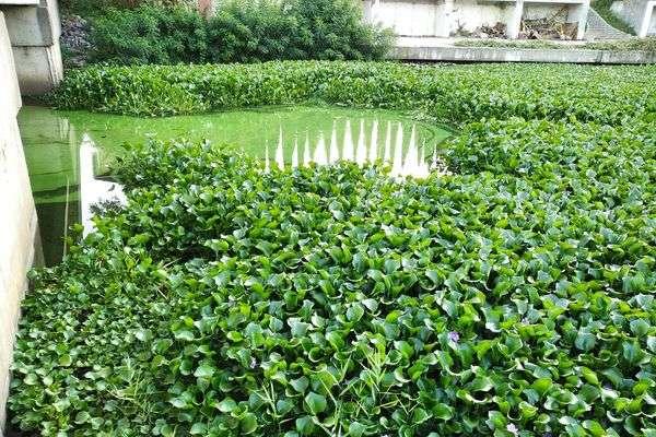 Рослина потрапила до нас із Південної Америки, вірніше, з її тропічної частини - У столичних водоймах завелася «зелена чума тропічних водойм» (фото)