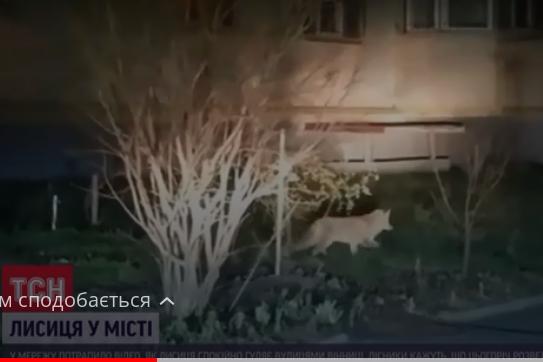 У Вінниці дикі тварини-хижачки перебралися жити до міста (відео)