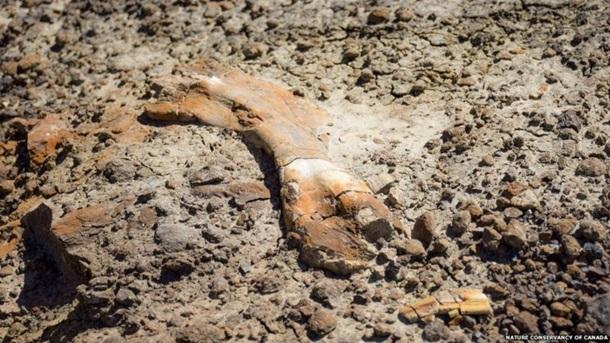 Всього було знайдено близько 50 кісток тварини