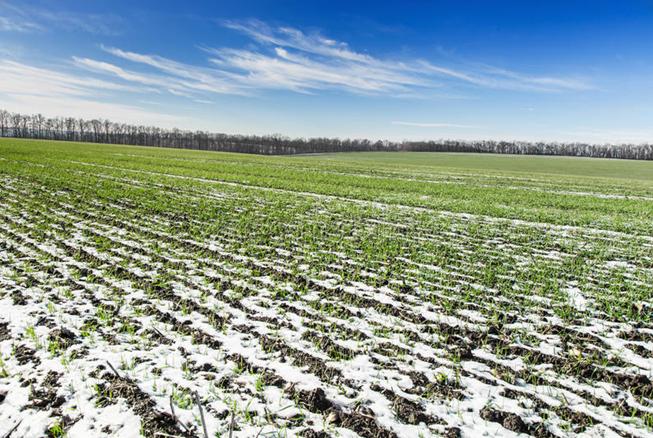 В цьому році озимі залишилися без захисту і вологи (agroexpert.md)