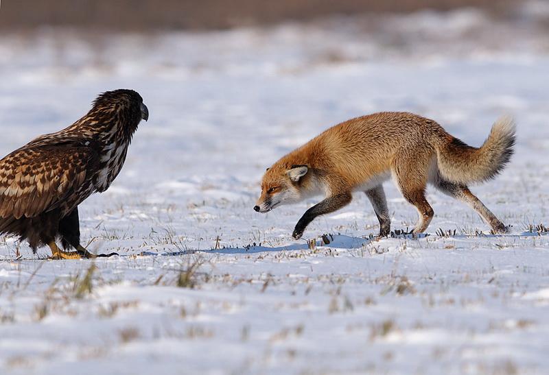 картинки орел и лиса утилита позволяет быстро