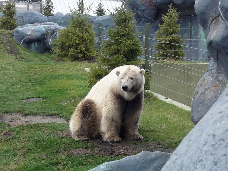 гибрид белого и бурого медведя фото облике стамбула