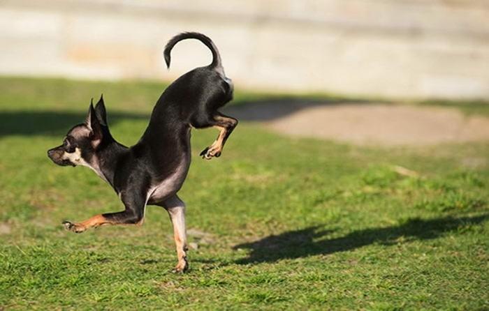 В городе Тастин (Калифорния, США) живет собачка по кличке Конжо, которая поставила мировой рекорд, пробежав 5 метров на передних лапах за 2,39 секунды.